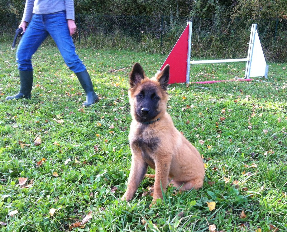 Dressage Berger Belge Malinois
